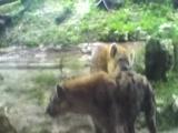 Hienas teniendo sexo