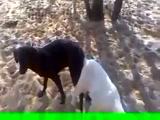 Un perro se follo a una cabra